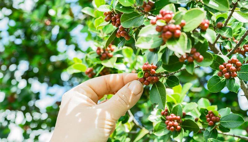 kona coffee cherries