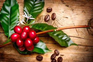 coffee beans and plant